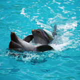 Zwei Delphine schließen oben adler Lizenzfreie Stockbilder