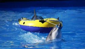 Zwei Delphine und Boot Stockbild