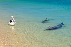 Zwei Delphine und ein Pelikan - Affe Mia stockfotos