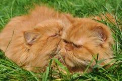 Zwei der gleichen roten Katze Lizenzfreie Stockbilder