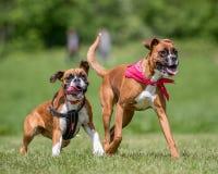 Zwei deutsche Boxer-Hunde, die in Richtung zur Kamera laufen und springen stockbild