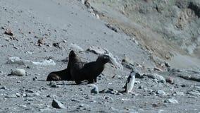 Zwei Dichtungen und ein Pinguin bewegen sich entlang den Strand Andreev stock footage