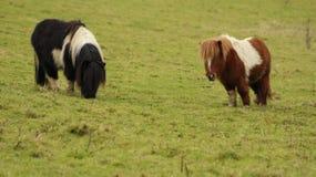 Zwei die Shetlandinseln-ponys auf der Wiese lizenzfreie stockfotografie
