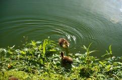 Zwei, die wenig Wasser auf das Wasser von tropischem See sich duckt, dominikanisch lizenzfreie stockfotos