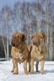 Zwei Dogues De Bordeaux im Winterpark Stockfoto