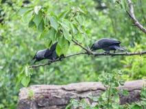 Zwei Dohlen gehockt auf einem Kirschbaum, der laut nennt Stockfoto