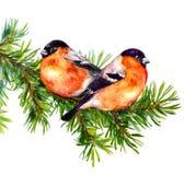 Zwei Dompfaffvögel auf Tannen- oder Kieferniederlassung watercolor Vektor Abbildung