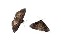 Zwei drepaniid Motten Stockbild