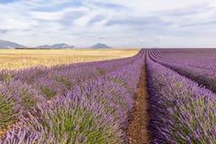 Zwei drittel Lavendel- und Weizenreihe Stockfotografie