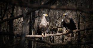 Zwei dunkelgraue Adler in der Natur Lizenzfreies Stockfoto