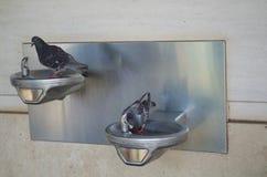 Zwei durstige Tauben Stockbild