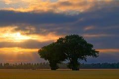 Zwei Eichen auf dem Gersten-Gebiet bei Sonnenuntergang Stockfotografie