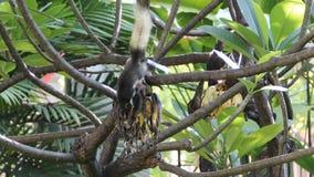 Zwei Eichhörnchen, die Banane essen stock video footage