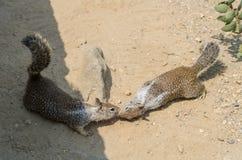 Zwei Eichhörnchen, die sich küssen Lizenzfreies Stockbild
