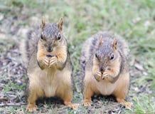 Zwei Eichhörnchen, die Sonnenblumensamen essen lizenzfreies stockbild