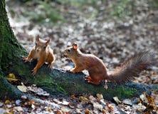 Zwei Eichhörnchen sitzen auf Baumwurzeln Lizenzfreie Stockfotos