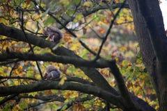 Zwei Eichhörnchen sitzen auf einer hölzernen Niederlassung im Herbst Lizenzfreie Stockbilder