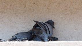 Zwei Eidechsen am Rand des Dachs stock video