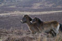 Zwei eindeutige Ponys Exmoor lizenzfreie stockfotografie