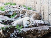 Zwei Eisbären liegen im Schatten auf den Felsen an einem sonnigen Tag und an einem Rest Lizenzfreie Stockfotos
