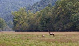Zwei Elche auf dem Gebiet Stockfoto