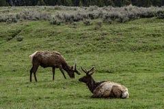 Zwei Elche innerhalb Yellowstone Nationalpark stockbild