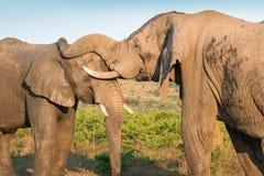 Zwei Elefant-Wechselwirkung Stockbild
