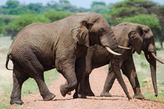 Zwei Elefanten in der Savanne afrika kenia tanzania serengeti Maasai Mara Stockfotografie