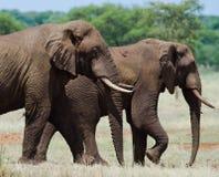 Zwei Elefanten in der Savanne afrika kenia tanzania serengeti Maasai Mara Stockfotos