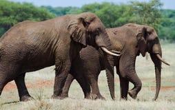 Zwei Elefanten in der Savanne afrika kenia tanzania serengeti Maasai Mara Lizenzfreie Stockbilder
