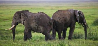 Zwei Elefanten in der Savanne afrika kenia tanzania serengeti Maasai Mara Lizenzfreies Stockbild
