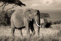 Zwei Elefanten in der Savanne im Sepia Stockbild
