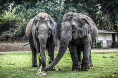 Zwei Elefanten, die in der natürlichen Reserve essen thailand Lizenzfreie Stockfotografie