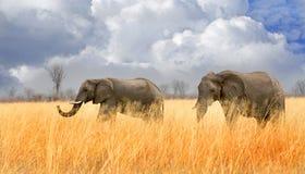 Zwei Elefanten, die durch hohes getrocknetes Gras in Nationalpark Hwange mit einem Hintergrund des bewölkten Himmels gehen Stockfoto