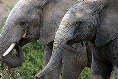 Zwei Elefanten, die im addo Park, Südafrika speisen Lizenzfreie Stockfotos
