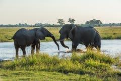 Zwei Elefanten, die im Fluss an der Dämmerung kämpfen Lizenzfreies Stockfoto