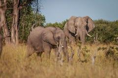 Zwei Elefanten, die im Gras essen lizenzfreies stockfoto