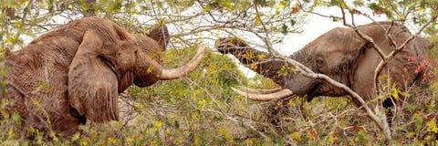 Zwei Elefanten, die von den Bäumen essen Lizenzfreies Stockfoto