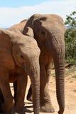zwei Elefanten, die zusammen gehen Lizenzfreie Stockfotografie
