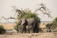 Zwei Elefanten Namibia Lizenzfreies Stockbild