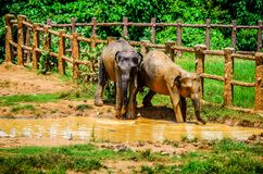 Zwei Elefanten spielen in einer Pfütze im Pinnawala-Elefant-Waisenhaus Sri Lanka stockfoto