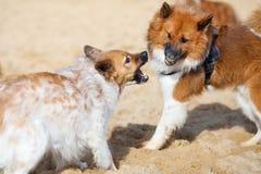 Zwei Elo Hunde, die an einander bellen Lizenzfreie Stockfotos
