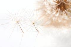 Zwei empfindliche pappuses der Blume des lauchblättrigen Bocksbarts Lizenzfreie Stockbilder