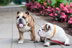 Zwei englische Bulldoggen oder britische Bulldoggen im Park Stockfotografie