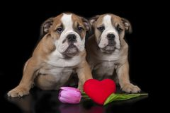 Zwei englische Bulldoggewelpen Lizenzfreie Stockbilder