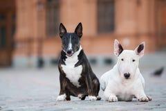 Zwei englische Bullterrierhunde, die draußen zusammen aufwerfen lizenzfreies stockbild