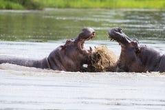 Zwei enorme männliche Flusspferde kämpfen im Wasser für bestes Gebiet Lizenzfreie Stockfotos