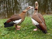 Zwei Enten Stockbild