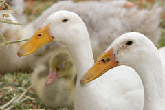 Zwei Enten Lizenzfreies Stockbild