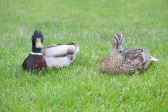 Zwei Enten Stockfotos